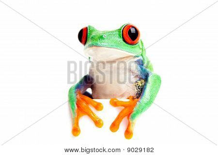 Frog Isolated Looking Over Edge