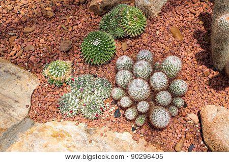 Echinocactus Cactus