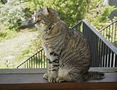 pic of screen-porch  - A gray Highland Lynx cat on a screened porch looking out - JPG
