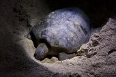 image of green turtle  - Green turtle laying eggs on beach in Malaysia at night - JPG