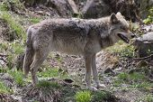 pic of coy  - A lone Coyote in a rocky environment - JPG
