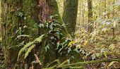 stock photo of fern  - Monumental oak tree moss wrapped with some fern and fungi grows over trunk against young forest - JPG