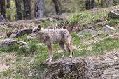foto of coy  - A lone coyote in a rocky - JPG
