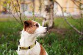 pic of jack russell terrier  - Dog Jack Russell Terrier walking outside in spring - JPG