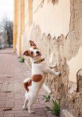 stock photo of jack russell terrier  - Dog Jack Russell Terrier walking outside in spring - JPG