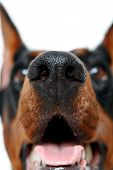foto of doberman pinscher  - Smells good - JPG