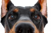 picture of doberman pinscher  - Close up of muzzle of doberman pinscher on isolated white background - JPG