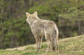 image of coy  - A lone Coyote in a forest environment - JPG