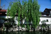 stock photo of weeping  - A weeping willow tree on the edge of water in a traditional Chinese garden inside Yuyuan Garden in Shanghai China on sunny day - JPG