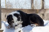 image of paw  - A dog in winter laying down to chew the balls of ice and snow from his paw - JPG
