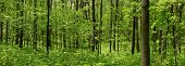 picture of deep  - Panoramic view of deep wood forest in spring time - JPG