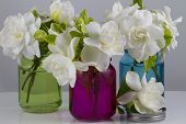 picture of gardenia  - Bouquet of fresh White Gardenias placed in small red green and blue mason jars on white or black background as a decoration for a table - JPG