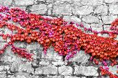 image of ivy  - beautiful red ivy on ancient castle stone wall - JPG