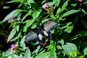 image of butterfly-bush  - Great Mormon  - JPG