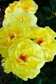 stock photo of yellow rose  - a group of yellow roses on a dark background - JPG
