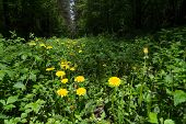 foto of backwoods  - Yellow dandelions are growing in the forest - JPG