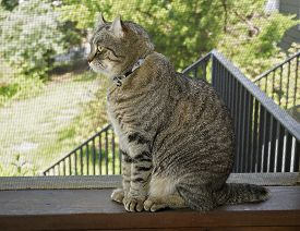 picture of screen-porch  - A gray Highland Lynx cat on a screened porch looking out - JPG