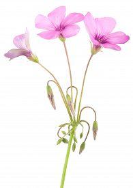 stock photo of sorrel  - Wood sorrel flowers isolated on white background - JPG