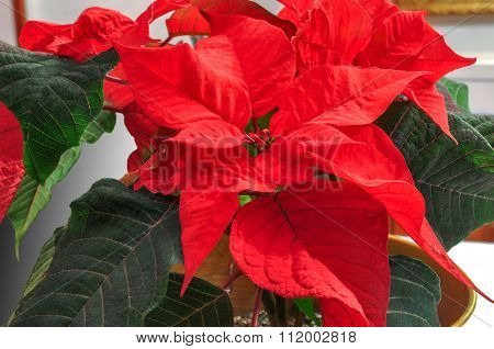 Bright Red Poinsettia. Traditional Christmas Flower.