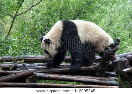 Panda in Chengdu People's Republic of China
