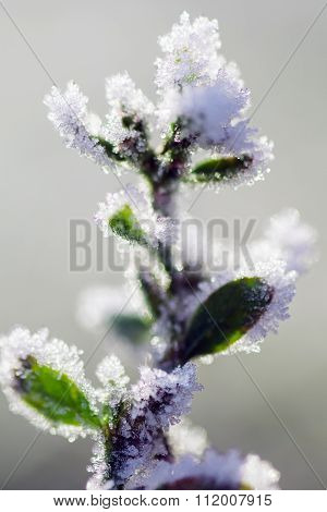 Frosted Plant In Winter