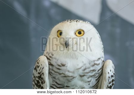 Cute Snowy Owl (bubo Scandiacus),on Blur Background