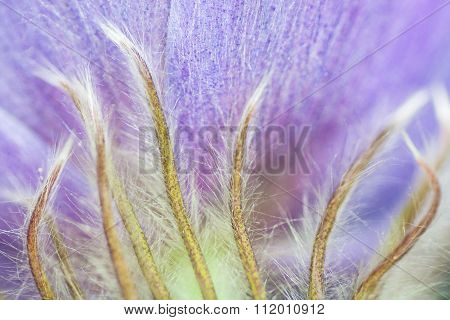 Hairy Crocus Close-up