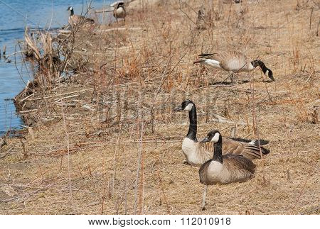 Resting Goose Couple