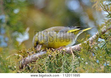 greenfinch in natural habitat (carduelis chloris)