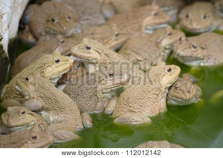 Frogs In Pond , Frogs At Frog Farm