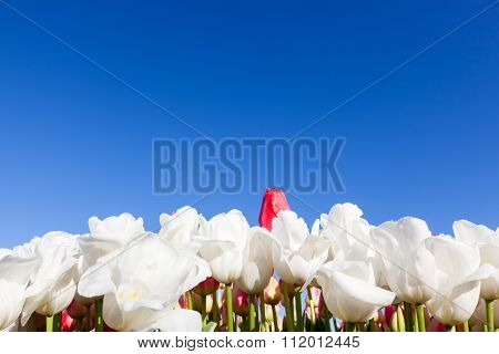Tulips With Blue Sky