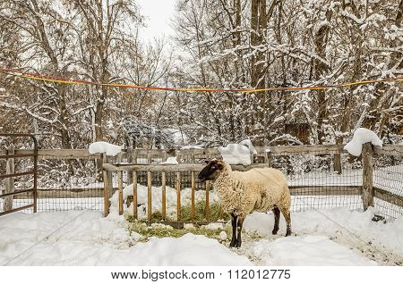 Fenced In Sheep