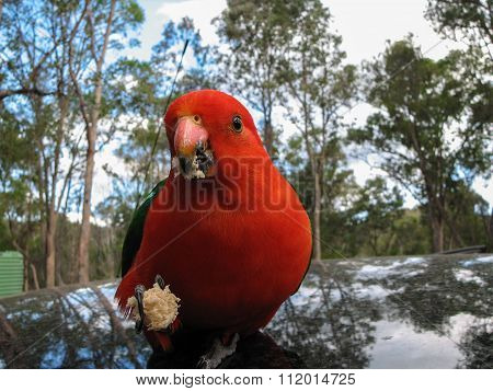 Australian King Parrot Closeup