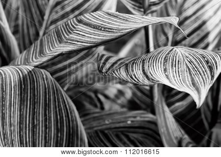 Canna Pretoria Large Textured Leaves Closeup - Abstract Black And White