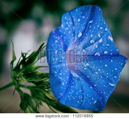 Blue Morning Glory Flower With Morning Dew
