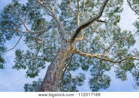 Canopy Of Big Australian Eucalyptus Tree