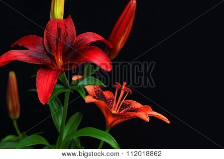 Red Tiger Lilies in Bloom
