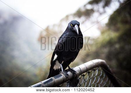 Australian Bird Pied Currawong Extreme Closeup