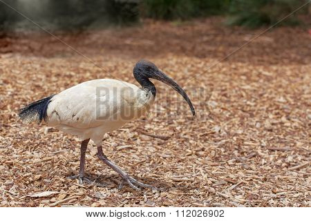 Australian White Ibis Walking
