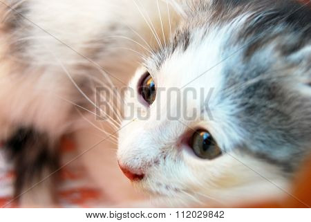 Portrait Of A Sweet White Kitty With Black Spots, Pink Nose And Long Whiskers And Big Green Eyes