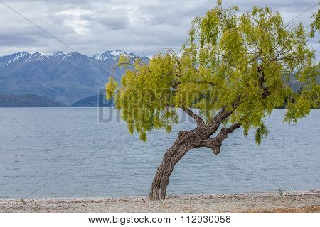 Curvy Tree On Lake Wanaks Shore, South Island, New Zealand