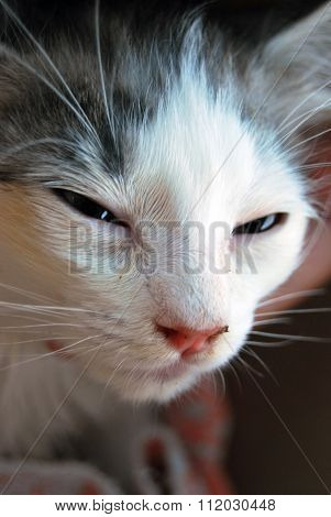 Portrait Of A White Cat With Black Spots, Angry With Half-closed Eyes, Pink Nose And Long Whiskers