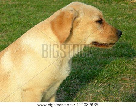 Labrador, Dog, Profile Portrait In A Green Grass Background