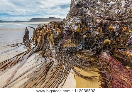 Huge Bull Kelp On The Rocks Of Cathedral Caves Beach, Catlins, New Zealand