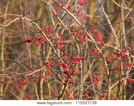 Twigs with rosehips