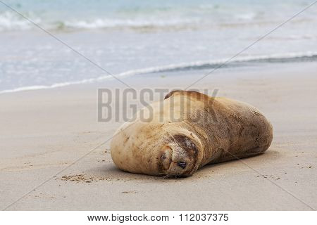 Sea Lion Sleeping On The Beach, Otago New Zealand