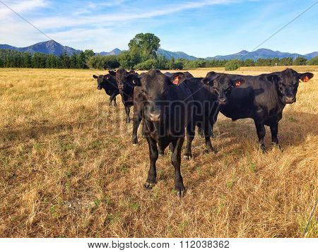 Five Black Cows In Fight Formation Staring Intensely