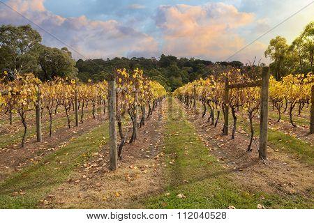 Vineyard In Yarra Valley, Australia In Autumn