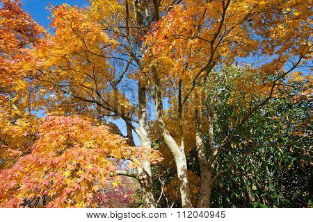 Beautiful Golden Maple Trees In Fall
