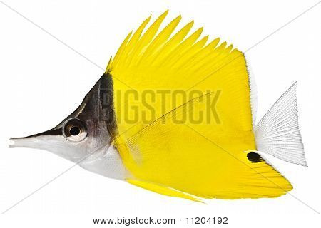 Forceps Fish